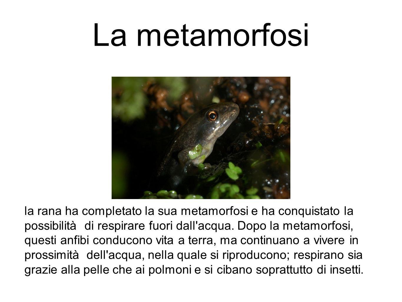La metamorfosi la rana ha completato la sua metamorfosi e ha conquistato la possibilità di respirare fuori dall'acqua. Dopo la metamorfosi, questi anf