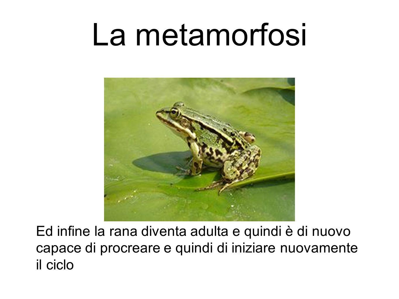 La metamorfosi Ed infine la rana diventa adulta e quindi è di nuovo capace di procreare e quindi di iniziare nuovamente il ciclo