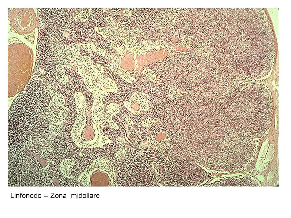 Linfonodo – Zona midollare