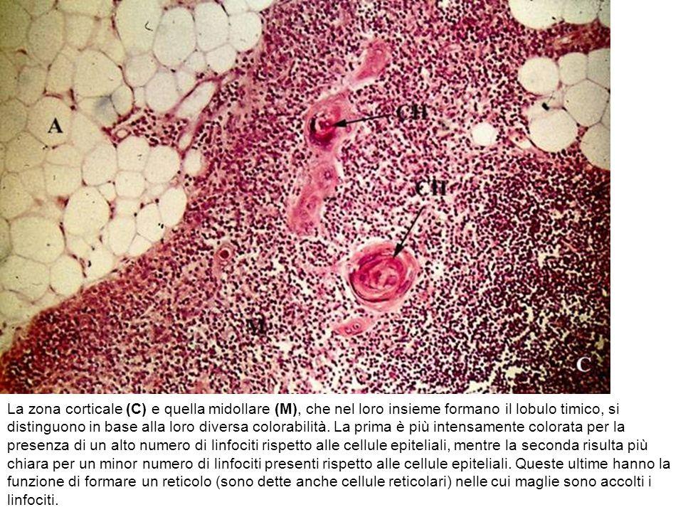La zona corticale (C) e quella midollare (M), che nel loro insieme formano il lobulo timico, si distinguono in base alla loro diversa colorabilità. La