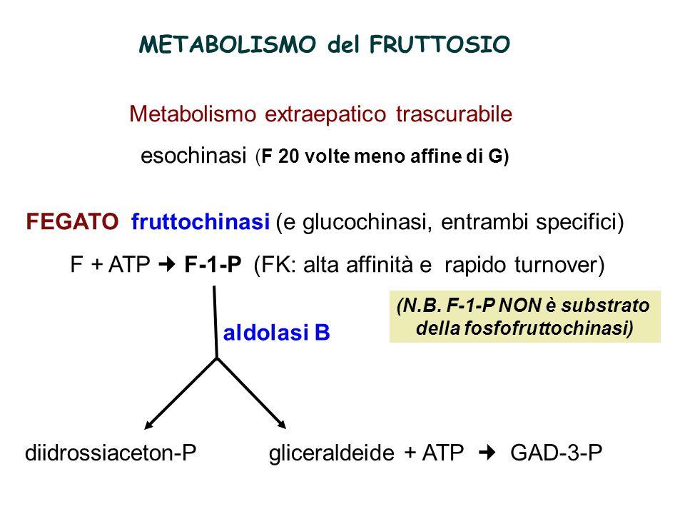 aldolasi B METABOLISMO del FRUTTOSIO Metabolismo extraepatico trascurabile esochinasi (F 20 volte meno affine di G) FEGATO fruttochinasi (e glucochinasi, entrambi specifici) F + ATP F-1-P (FK: alta affinità e rapido turnover) diidrossiaceton-P gliceraldeide + ATP GAD-3-P (N.B.