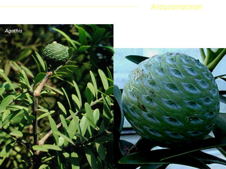 Sottoclasse ClassePhylumFamiglia Coniferophyta PinopsidaPinidae - Conifere Araucariaceae Agathis