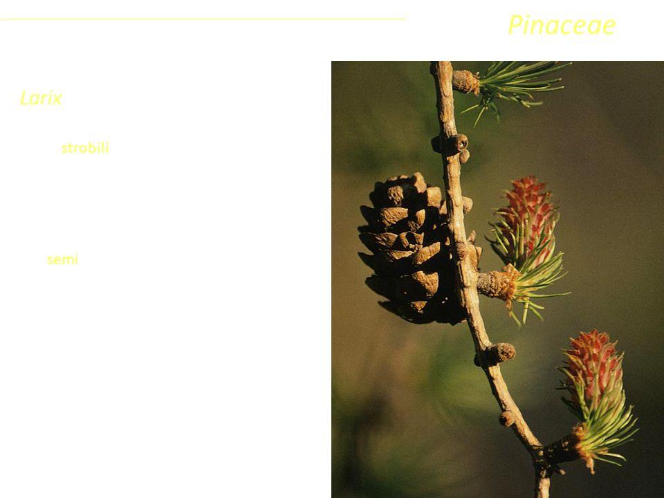 Larix Gli strobili sono piccoli (lunghi 2-4 cm), eretti e permangono sulla pianta anche dopo la disseminazione. I semi sono piccolissimi con un'ala mo