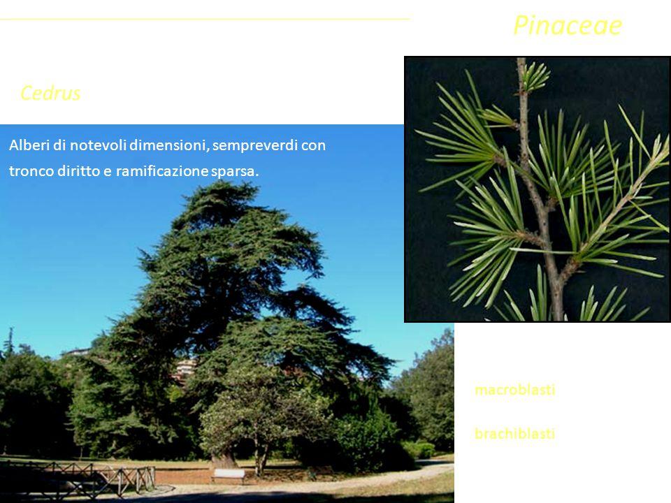 Cedrus Alberi di notevoli dimensioni, sempreverdi con tronco diritto e ramificazione sparsa. Sottoclasse ClassePhylumFamiglia Coniferophyta PinopsidaP