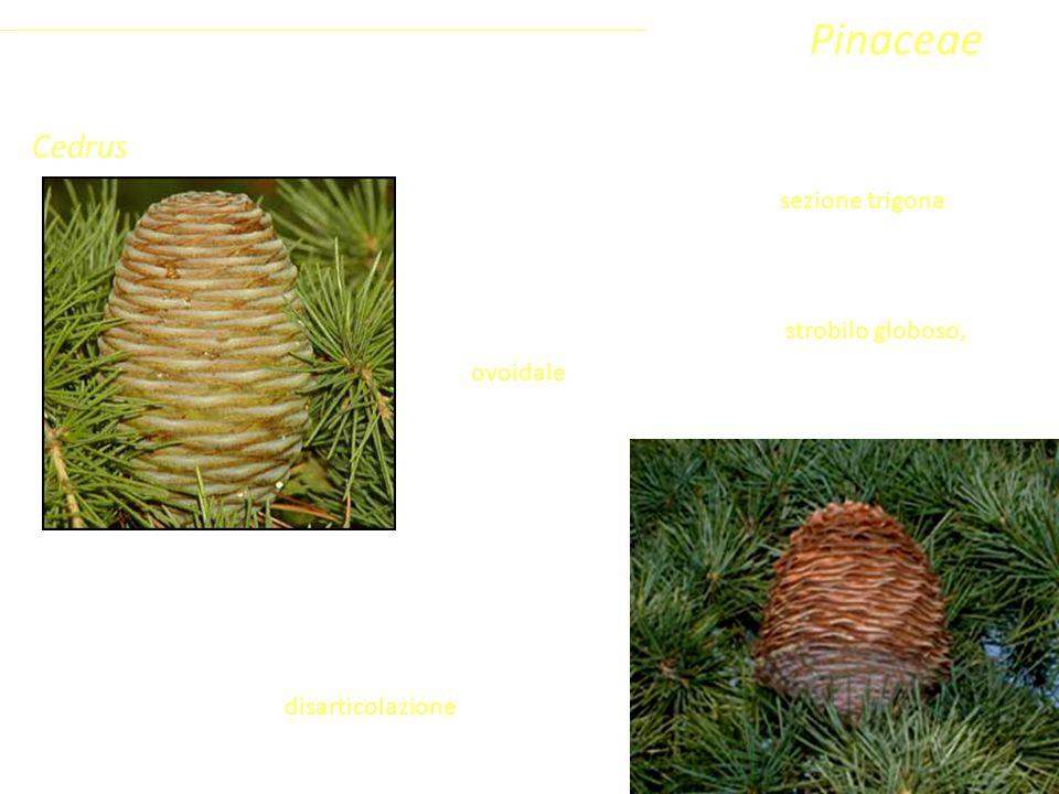 Cedrus Le foglie sono aghiformi con sezione trigona, rigide e pungenti. È l'unico genere dell'emisfero settentrionale a fiorire in autunno, producendo