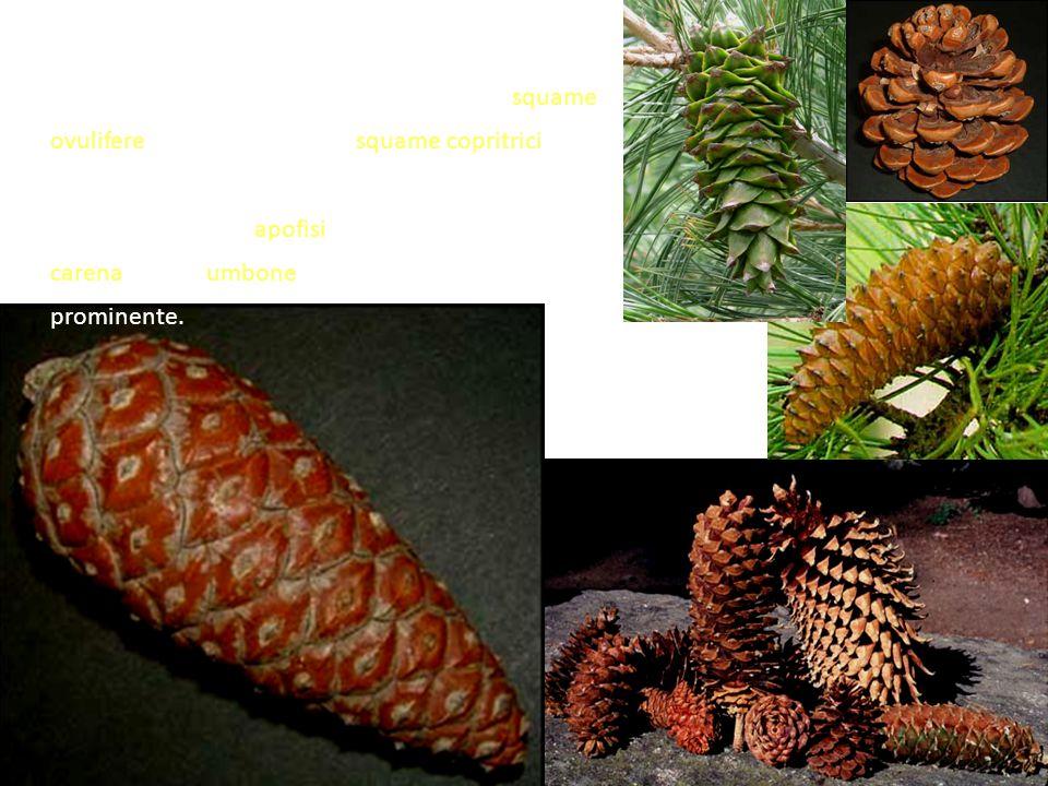 Anche la forma e la dimensione degli strobili varia con le specie, ma in tutte sono costituiti da squame ovulifere grandi e legnose, e squame copritri