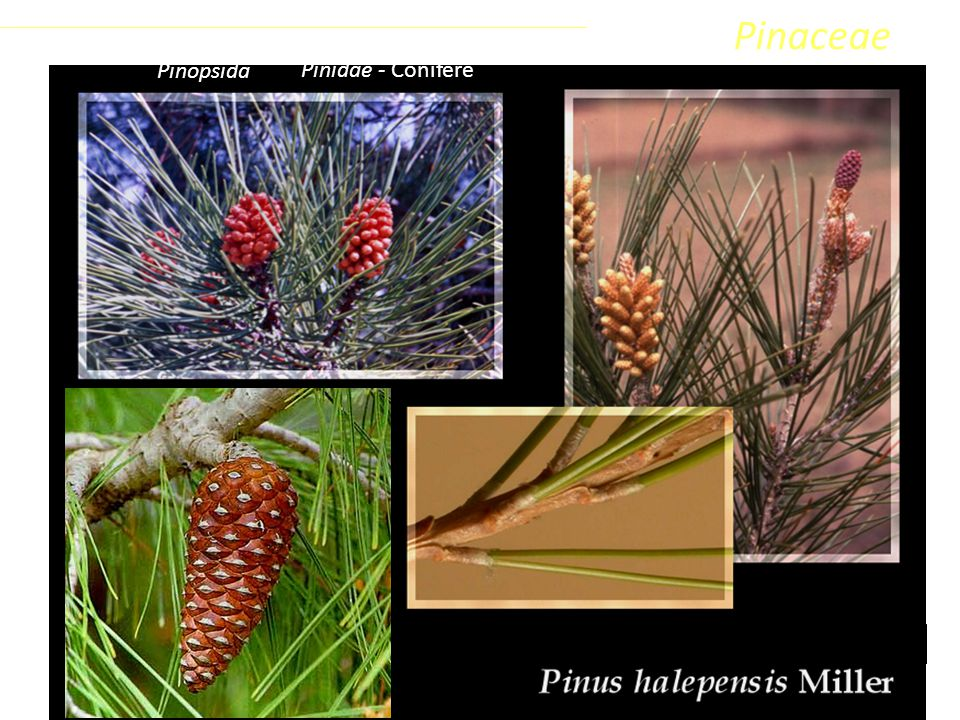 Sottoclasse ClassePhylumFamiglia Coniferophyta PinopsidaPinidae - Conifere Pinaceae