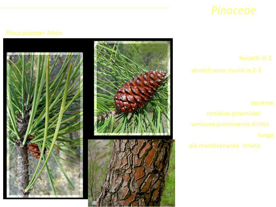Sottoclasse ClassePhylumFamiglia Coniferophyta PinopsidaPinidae - Conifere Pinaceae Chioma verde scura più o meno piramidale, ma mai tabulare. Aghi in
