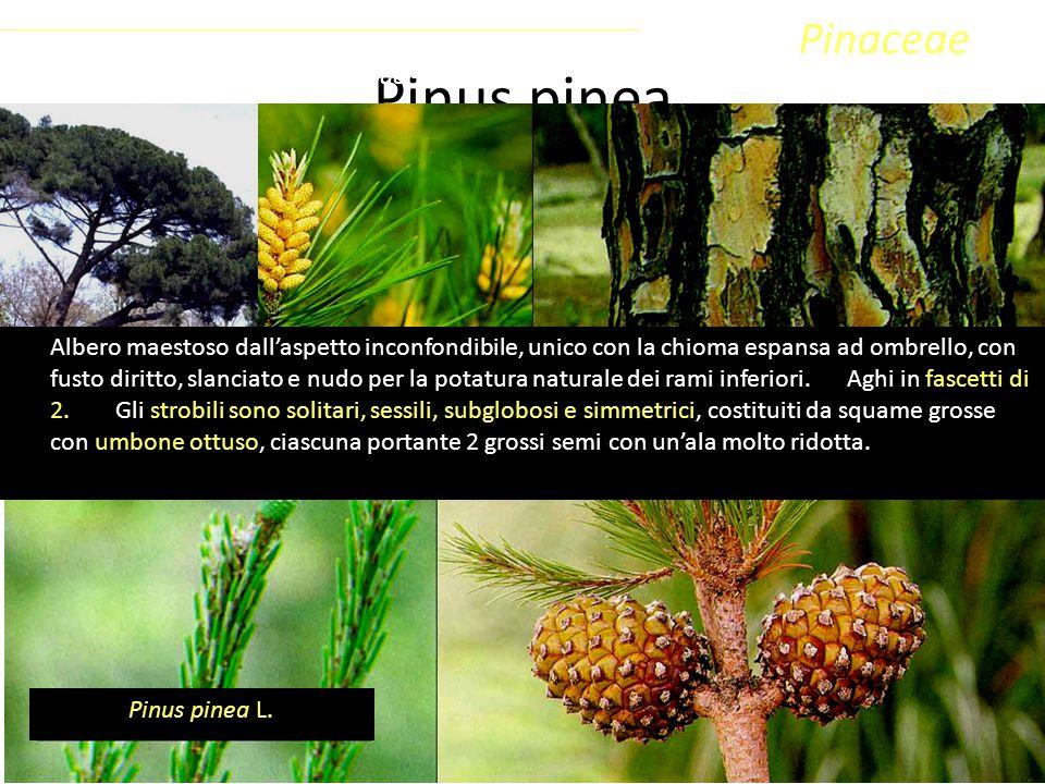 Pinus pinea Sottoclasse ClassePhylumFamiglia Coniferophyta PinopsidaPinidae - Conifere Pinaceae Pinus pinea L. Albero maestoso dall'aspetto inconfondi