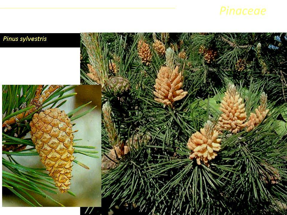 Pinus sylvestris Sottoclasse ClassePhylumFamiglia Coniferophyta PinopsidaPinidae - Conifere Pinaceae