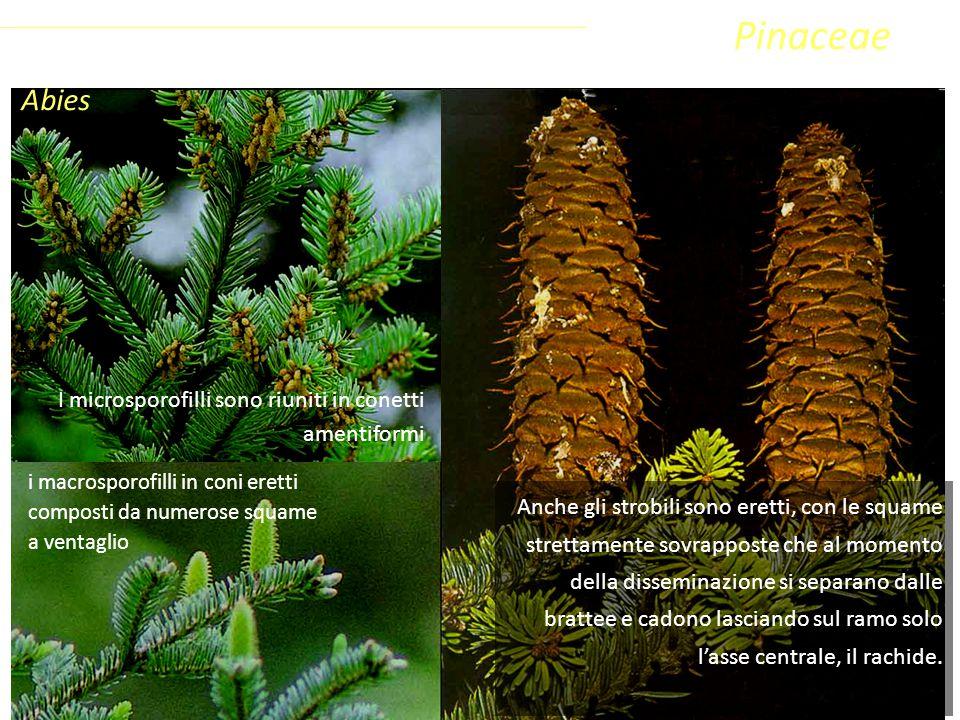 Abies i macrosporofilli in coni eretti composti da numerose squame a ventaglio Sottoclasse ClassePhylumFamiglia Coniferophyta PinopsidaPinidae - Conif