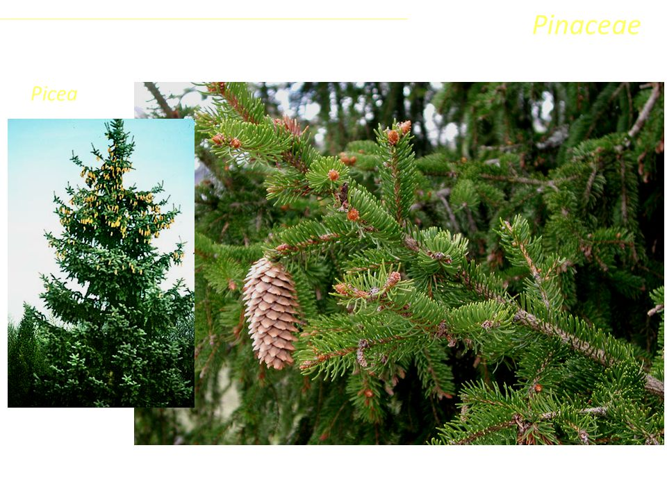 Picea Sottoclasse ClassePhylumFamiglia Coniferophyta PinopsidaPinidae - Conifere Pinaceae Le foglie sono aghiformi, appuntite, sessili e sempre inserite su un cuscinetto rilevato.