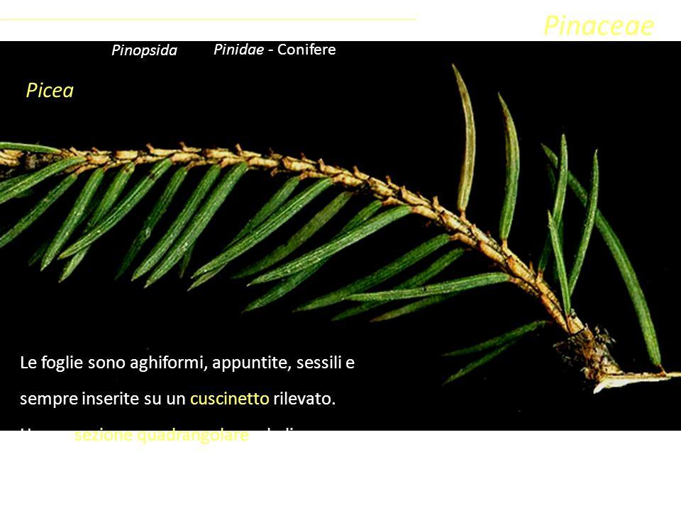 Picea Sottoclasse ClassePhylumFamiglia Coniferophyta PinopsidaPinidae - Conifere Pinaceae Le foglie sono aghiformi, appuntite, sessili e sempre inseri
