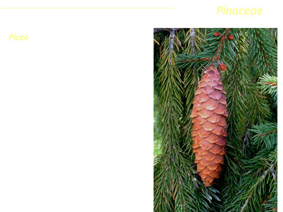 Larix A questo genere appartengono una decina di specie arboree decidue delle regioni fredde di tutto l'emisfero settentrionale.