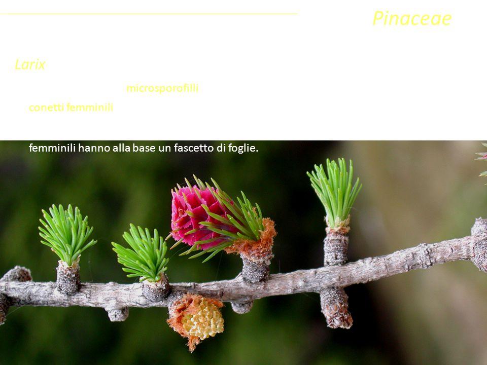 Larix Gli strobili sono piccoli (lunghi 2-4 cm), eretti e permangono sulla pianta anche dopo la disseminazione.