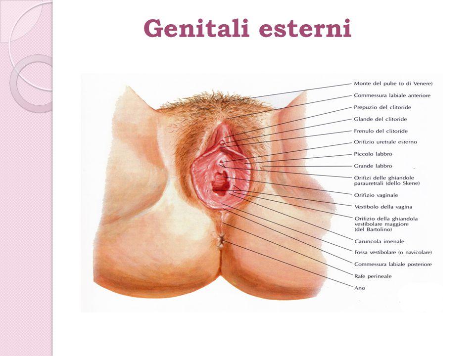 Genitali esterni