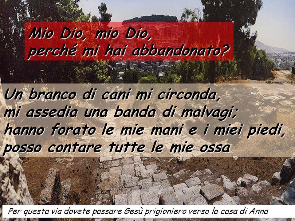 Ulivo millenario, forse nato dalla radice di uno di quelli che si trovavano qui a Getsemani quando furono tagliati dall'esercito romano dopo la rivolta del 70.
