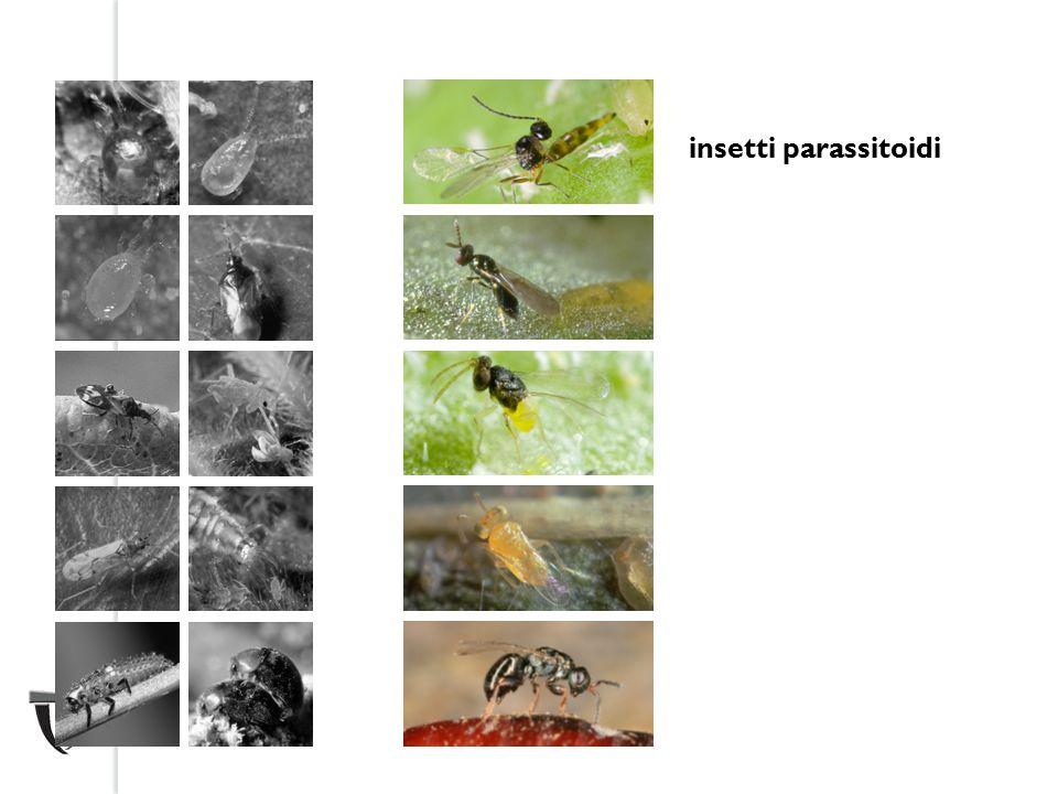 insetti parassitoidi