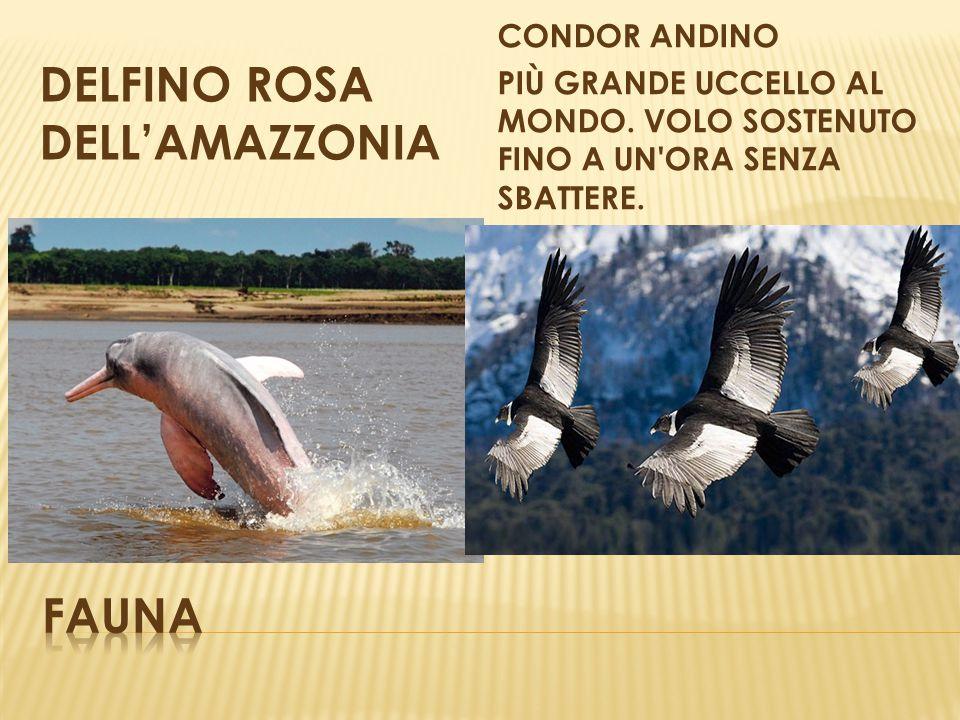 DELFINO ROSA DELL'AMAZZONIA CONDOR ANDINO PIÙ GRANDE UCCELLO AL MONDO. VOLO SOSTENUTO FINO A UN'ORA SENZA SBATTERE.