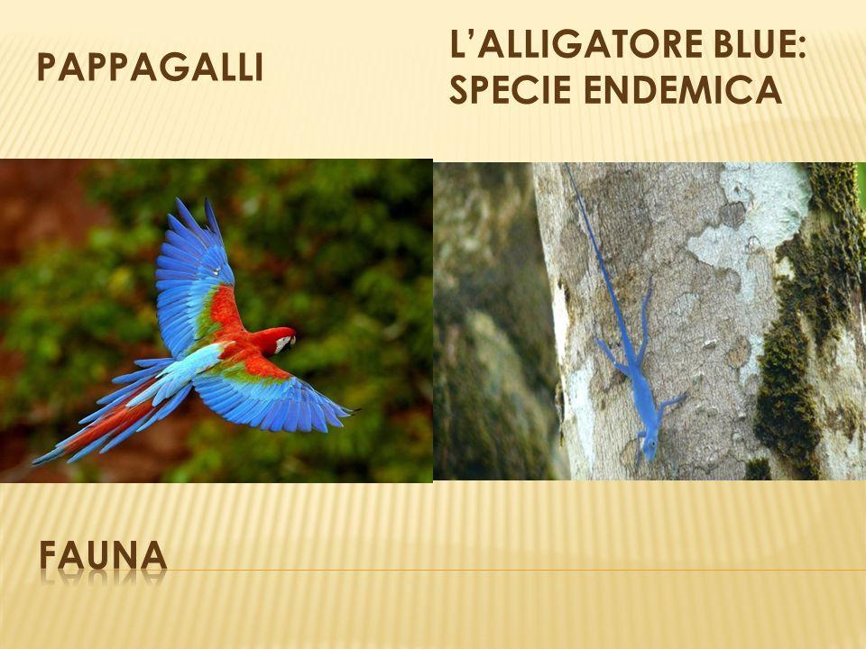 PAPPAGALLI L'ALLIGATORE BLUE: SPECIE ENDEMICA