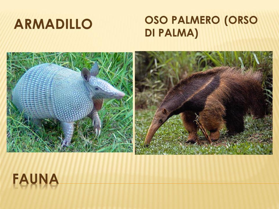 ARMADILLO OSO PALMERO (ORSO DI PALMA)
