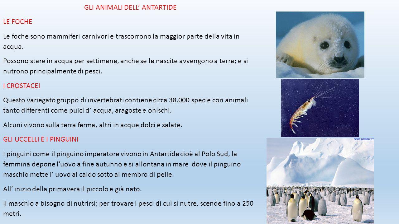 GLI ANIMALI DELL' ANTARTIDE LE FOCHE Le foche sono mammiferi carnivori e trascorrono la maggior parte della vita in acqua. Possono stare in acqua per