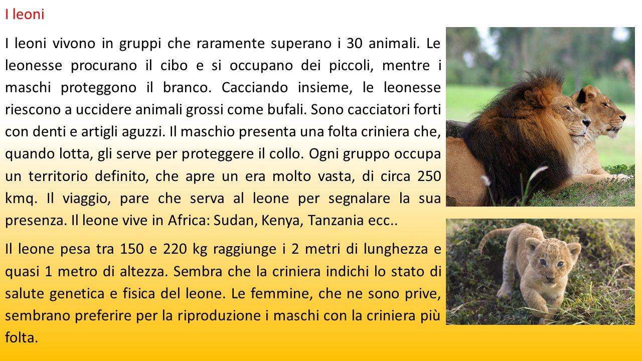 I leoni I leoni vivono in gruppi che raramente superano i 30 animali. Le leonesse procurano il cibo e si occupano dei piccoli, mentre i maschi protegg