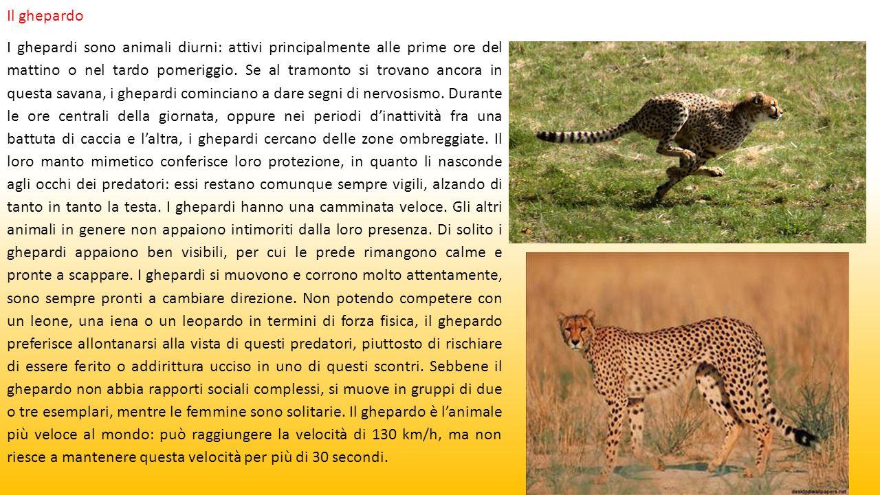 Il ghepardo I ghepardi sono animali diurni: attivi principalmente alle prime ore del mattino o nel tardo pomeriggio. Se al tramonto si trovano ancora