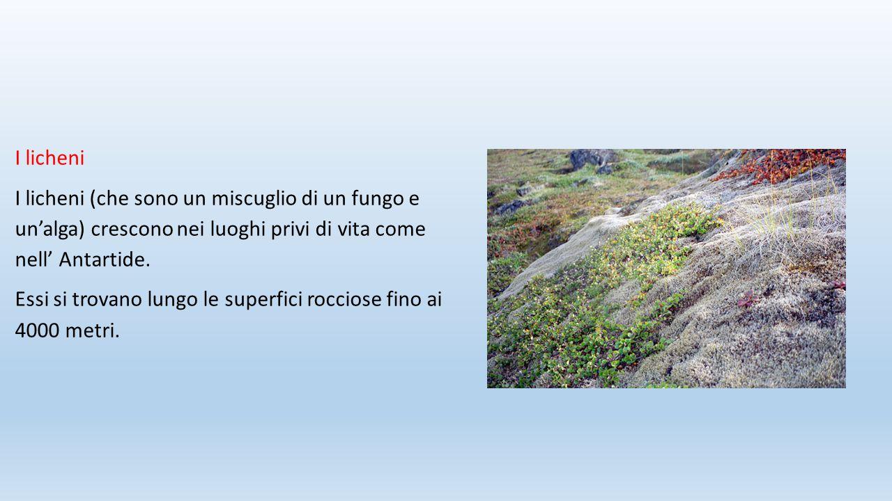 I licheni I licheni (che sono un miscuglio di un fungo e un'alga) crescono nei luoghi privi di vita come nell' Antartide. Essi si trovano lungo le sup