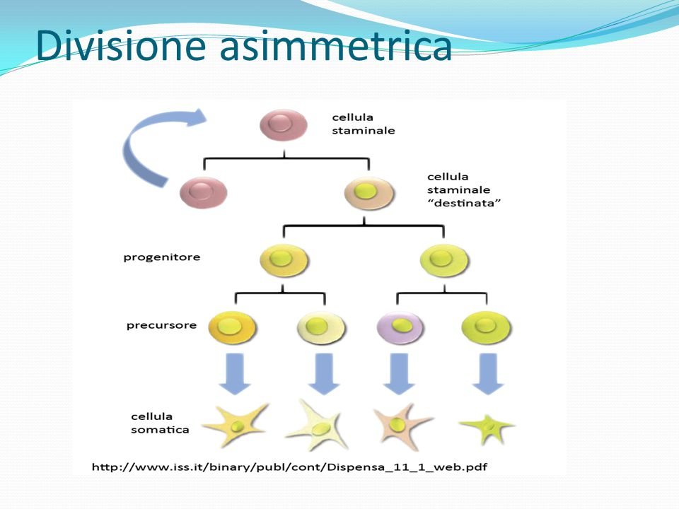 Divisione asimmetrica