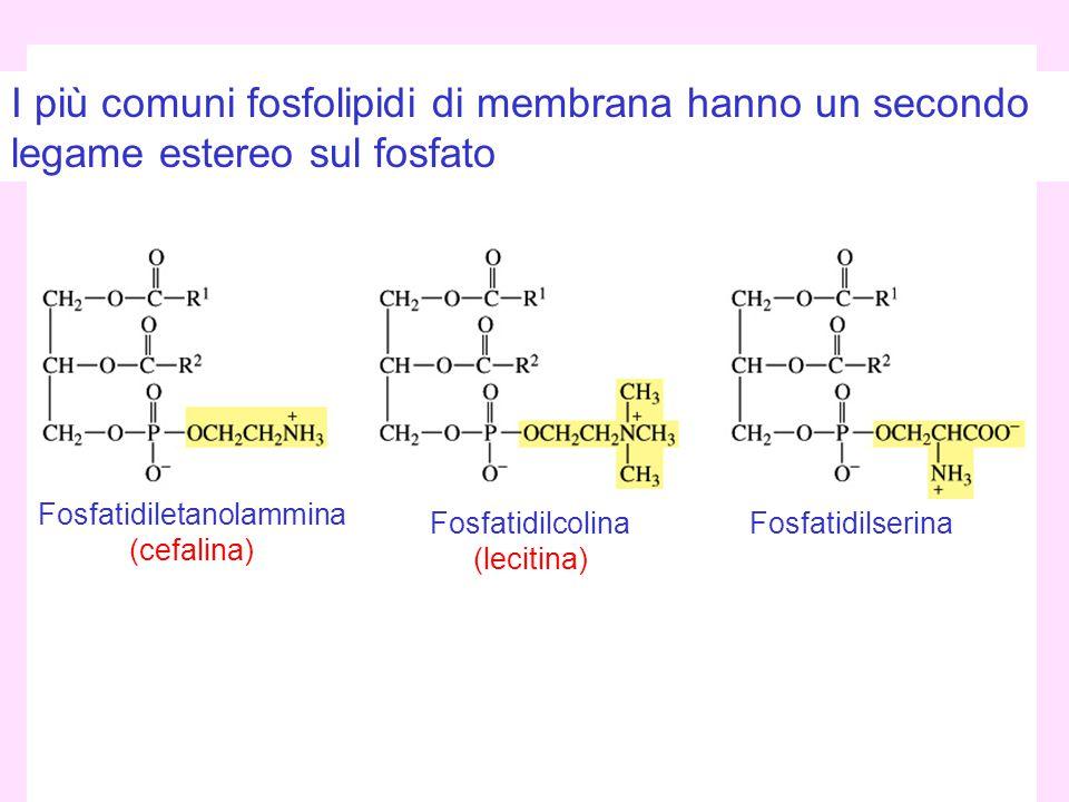 Emilio Tagliavini - Chimica delle Sostanze Naturali 2007/08 39 I più comuni fosfolipidi di membrana hanno un secondo legame estereo sul fosfato Fosfat