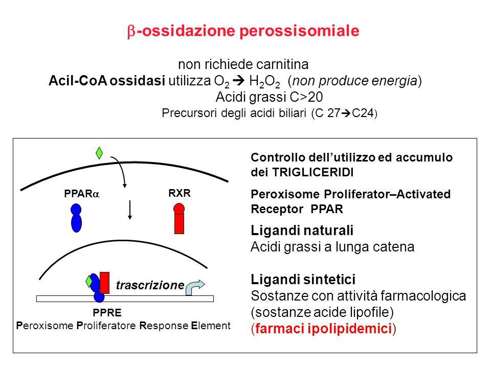  -ossidazione perossisomiale non richiede carnitina Acil-CoA ossidasi utilizza O 2  H 2 O 2 (non produce energia) Acidi grassi C>20 Precursori degli acidi biliari (C 27  C24 ) Controllo dell'utilizzo ed accumulo dei TRIGLICERIDI Peroxisome Proliferator–Activated Receptor PPAR PPAR  RXR PPRE Peroxisome Proliferatore Response Element trascrizione Ligandi naturali Acidi grassi a lunga catena Ligandi sintetici Sostanze con attività farmacologica (sostanze acide lipofile) (farmaci ipolipidemici)