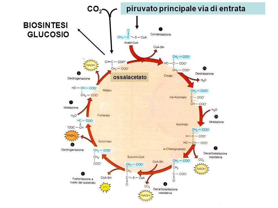 BIOSINTESI GLUCOSIO piruvato principale via di entrata CO 2 ossalacetato