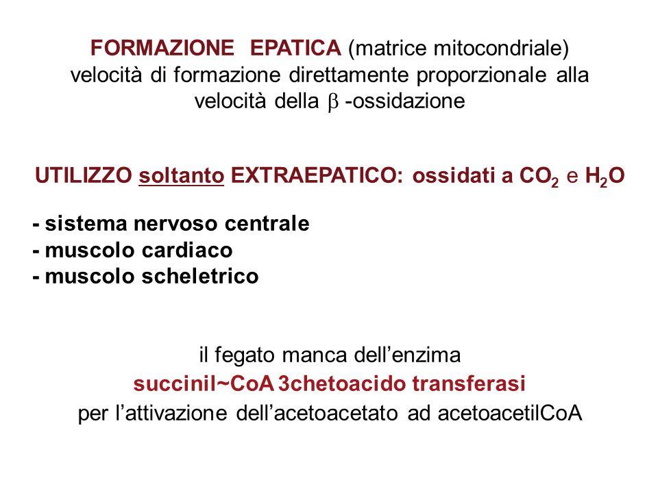 FORMAZIONE EPATICA (matrice mitocondriale) velocità di formazione direttamente proporzionale alla velocità della  -ossidazione UTILIZZO soltanto EXTRAEPATICO: ossidati a CO 2 e H 2 O - sistema nervoso centrale - muscolo cardiaco - muscolo scheletrico il fegato manca dell'enzima succinil~CoA 3chetoacido transferasi per l'attivazione dell'acetoacetato ad acetoacetilCoA