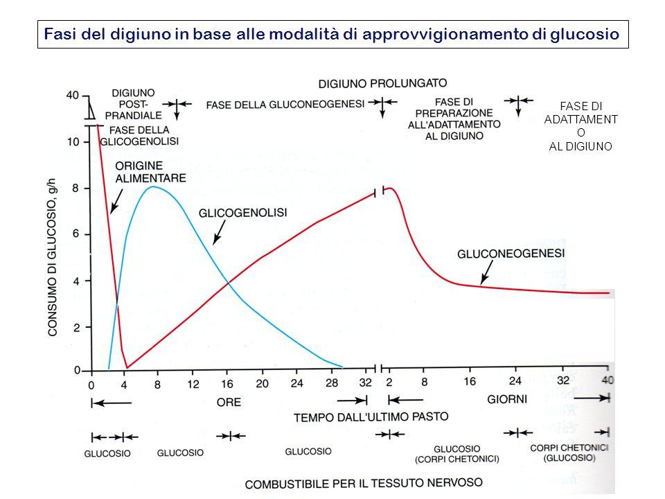Fasi del digiuno in base alle modalità di approvvigionamento di glucosio FASE DI ADATTAMENT O AL DIGIUNO