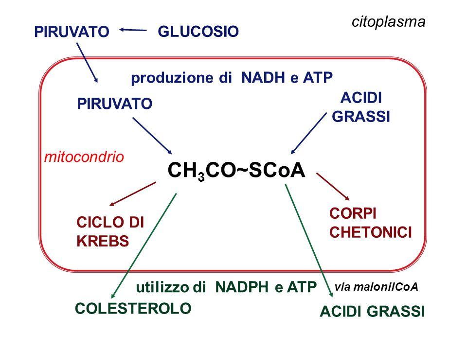 GLUCOSIO citoplasma CH 3 CO~SCoA PIRUVATO ACIDI GRASSI CORPI CHETONICI CICLO DI KREBS COLESTEROLO via malonilCoA ACIDI GRASSI mitocondrio produzione di NADH e ATP utilizzo di NADPH e ATP PIRUVATO