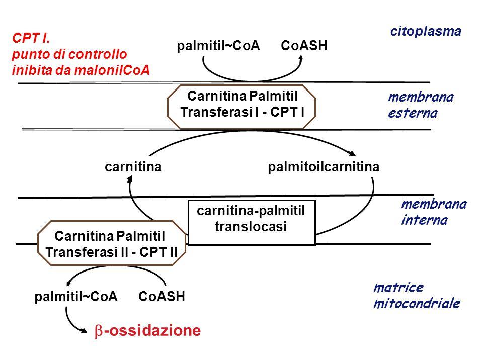 Carnitina Palmitil Transferasi I - CPT I membrana esterna membrana interna palmitil~CoA CoASH  -ossidazione matrice mitocondriale citoplasma palmitil~CoA CoASH carnitina palmitoilcarnitina CPT I.