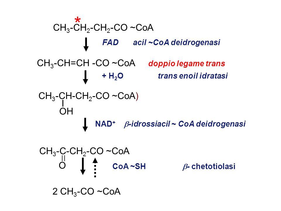 CH 3 -CH 2 -CH 2 -CO ~CoA CH 3 -CH=CH -CO ~CoA doppio legame trans CH 3 -CH-CH 2 -CO ~CoA) I OH CH 3 -C-CH 2 -CO ~CoA 2 CH 3 -CO ~CoA FAD acil ~CoA deidrogenasi + H 2 O trans enoil idratasi NAD +  -idrossiacil ~ CoA deidrogenasi CoA ~SH  - chetotiolasi II O *