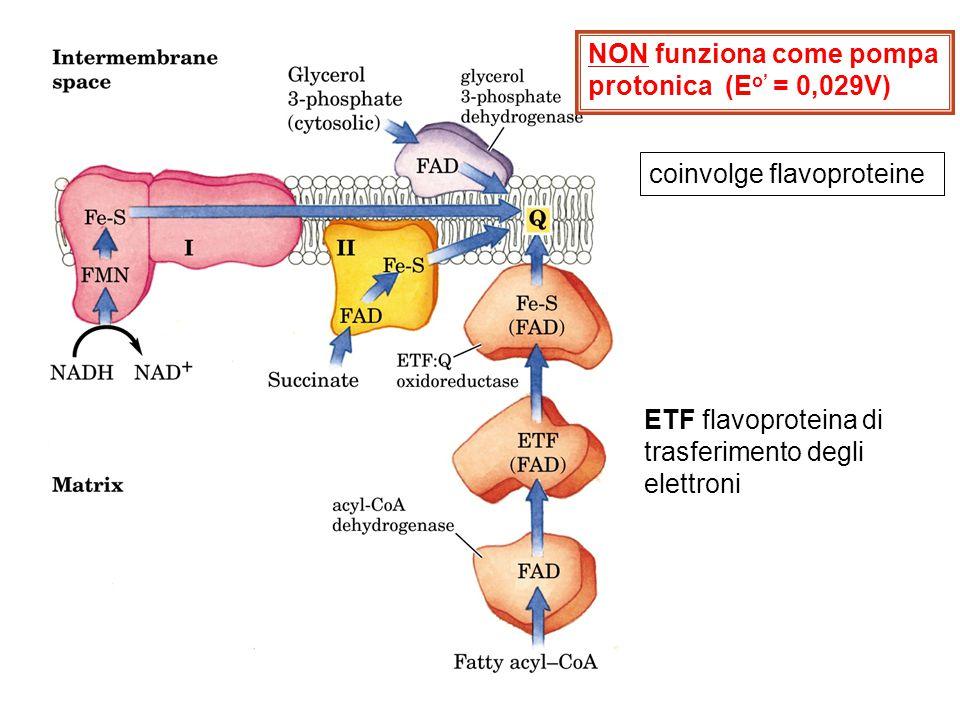 NON funziona come pompa protonica (E o' = 0,029V) ETF flavoproteina di trasferimento degli elettroni coinvolge flavoproteine