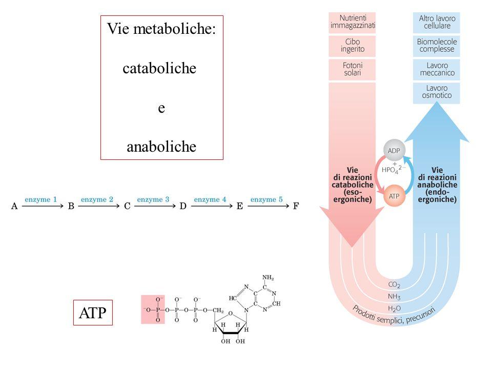 ATP Vie metaboliche: cataboliche e anaboliche