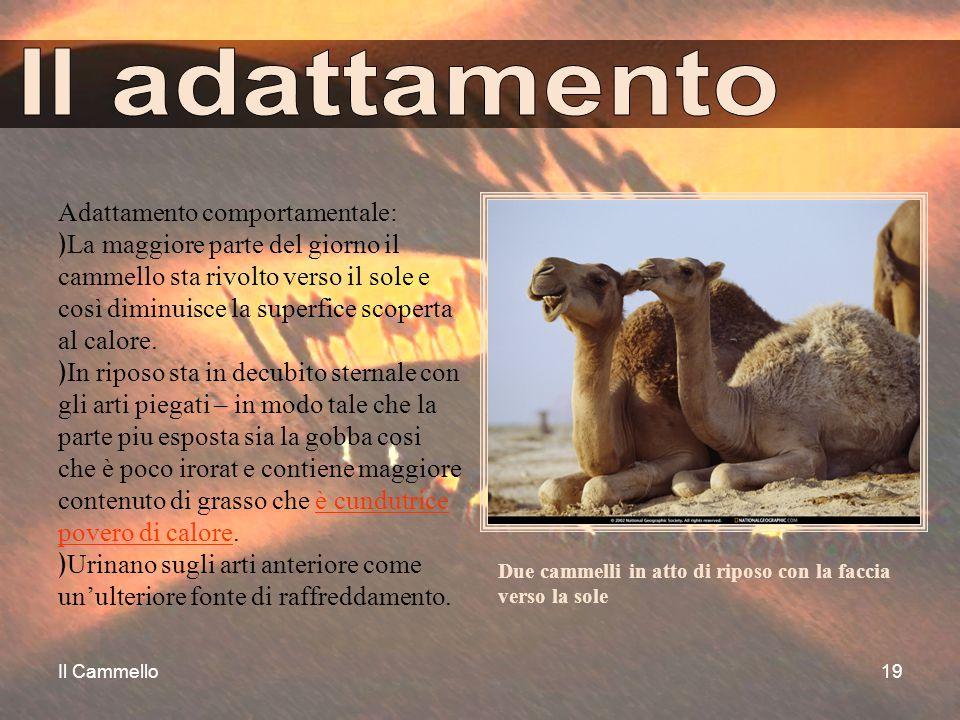 Il Cammello19 Adattamento comportamentale: ﴿La maggiore parte del giorno il cammello sta rivolto verso il sole e così diminuisce la superfice scoperta