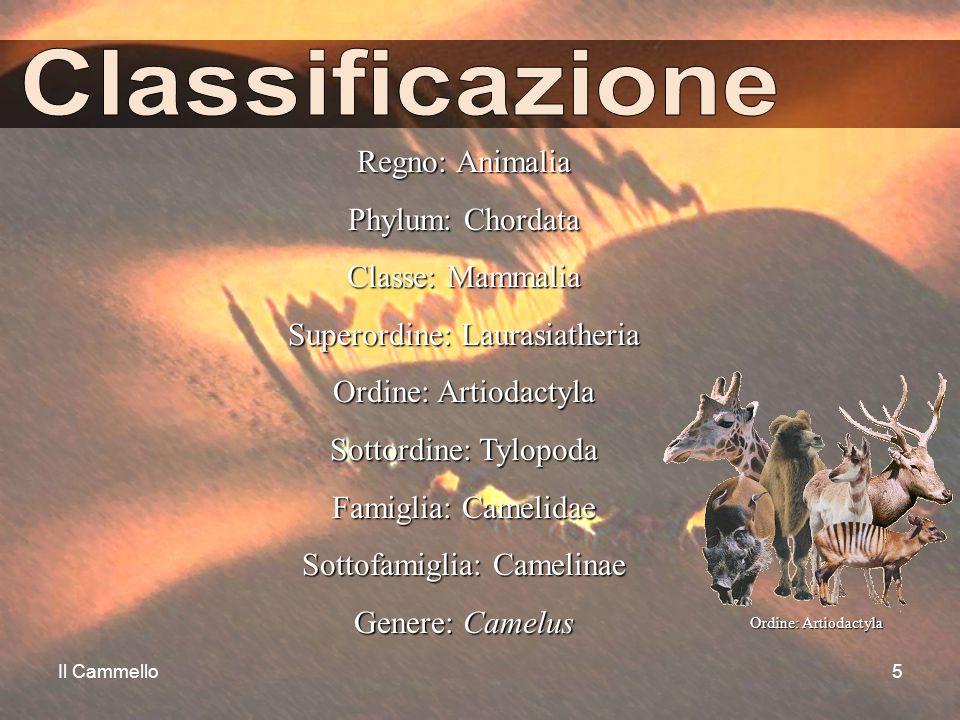 Il Cammello5 Regno: Animalia Phylum: Chordata Classe: Mammalia Superordine: Laurasiatheria Ordine: Artiodactyla Sottordine: Tylopoda Famiglia: Camelid
