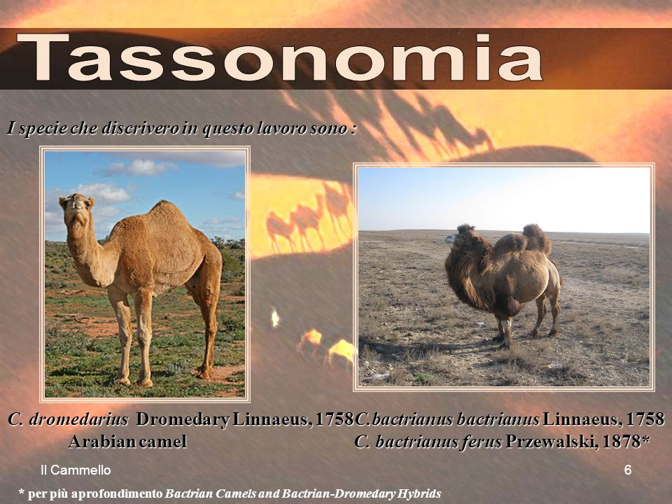 Il Cammello6 I specie che discrivero in questo lavoro sono : C. dromedarius Dromedary Linnaeus, 1758C.bactrianus bactrianus Linnaeus, 1758 Arabian cam