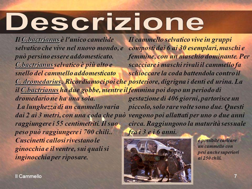 Il Cammello7 C.bactrianus C.bactrianus C. dromedarius C.bactrianus Il C.bactrianus è l'unico camelide selvatico che vive nel nuovo mondo, e può persin