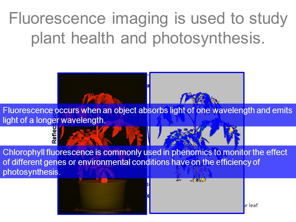 Fluorescence imaging is used to study plant health and photosynthesis.