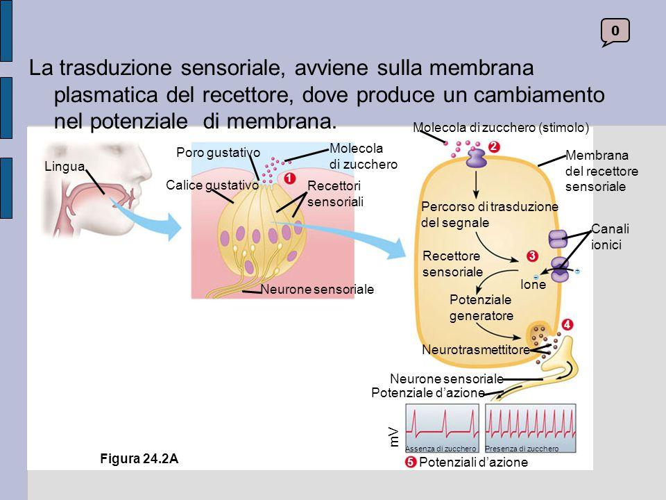 0 Recettore dello zucchero Interneurone «dello zucchero» Cervello Calice gustativo Interneurone «del sale» Recettore del sale Neuroni sensoriali Assenza di zucchero Aumento della dolcezza Assenza di sale Calice gustativo Aumento della salinità Figura 24.2B La frequenza dei potenziali d'azione comunica l'intensità dello stimolo alle corrispondenti aree cerebrali.
