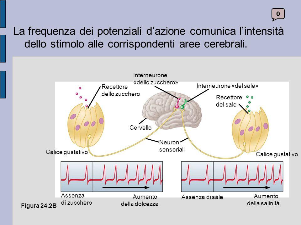 24.10 Nell'orecchio interno hanno sede i nostri organi dell'equilibrio Nel corpo umano esistono due gruppi di recettori per l'equilibrio situati su ciascun lato del cranio, nell'orecchio interno.
