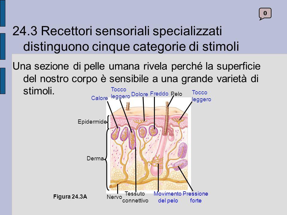 I recettori dolorifici A eccezione del cervello, ogni parte del corpo possiede recettori dolorifici.