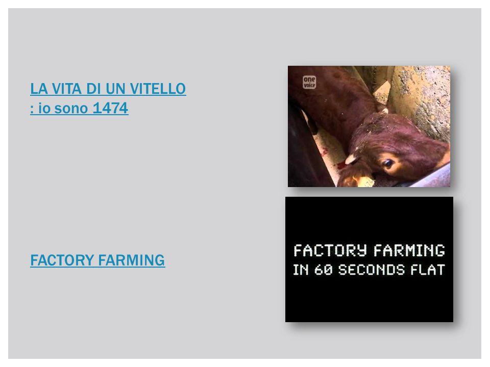 LA VITA DI UN VITELLO : io sono 1474 FACTORY FARMING