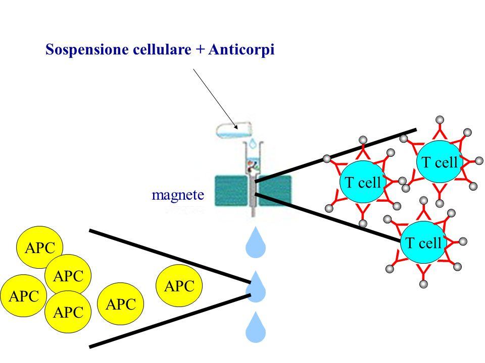 magnete Sospensione cellulare + Anticorpi Y T cell Y Y Y Y Y Y Y Y Y Y Y Y Y Y Y Y Y Y Y Y APC